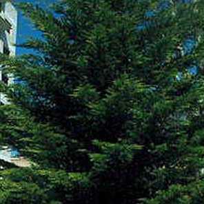 Ciprés lambertiana de cerco