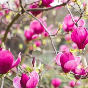 Magnolia purpura