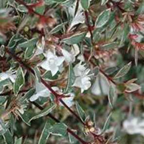 Abelia grandiflora alba