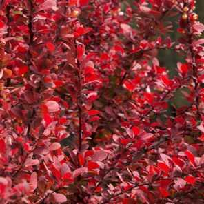 Berberis thumbergii red pillar