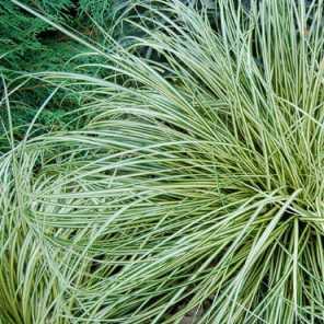 Carex bronzina