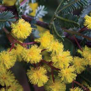 Acacia Bayleyana