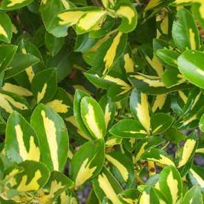 Evonymus japónica maculata aurea