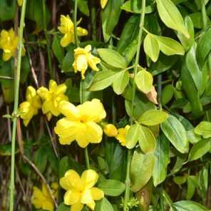 Jazmin amarillo compacto