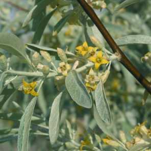 Olivo de bohemia