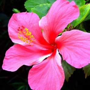 Rosa de la china