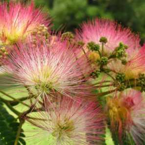 Acacia de constantinopla