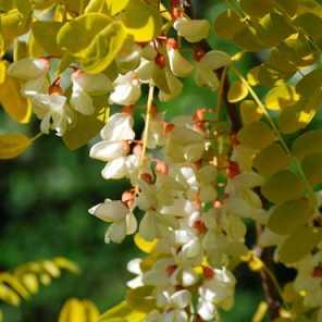 Acacia frisia