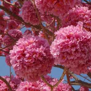 Lapacho rosado
