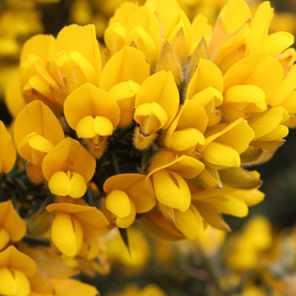 Retama amarilla