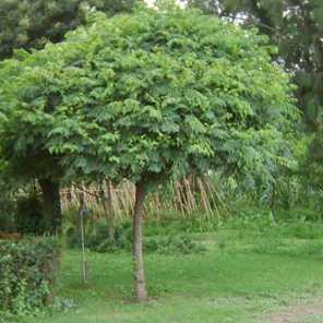 Paraiso sombrilla o Melia Azedarach Umbraculifera