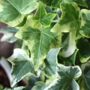 Hiedra marmolada o Hedera Canariensis Variegata