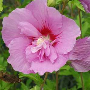 Rosa de Siria o Hibiscus syriacus