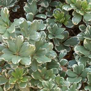 azarero disciplinado o Pittosporum tobira variegata alba