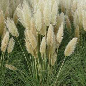 Pampa Grass compacto o Cortaderia Selloana Pumila