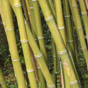 Caña de la india o Phyllostachis Bambusoides