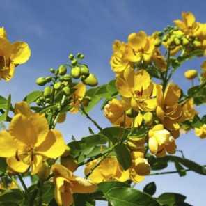 Cassia Floribunda o Senna Spectabilis