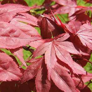 Acer palmatum atropurpurea o atropurpureum