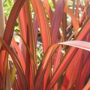 Formio Rojo compacto o Phormium Tenax Atropurpurea nana