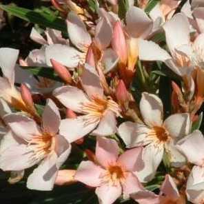 Laurel de flor compacto o Nerium Oleander Petit Salmon