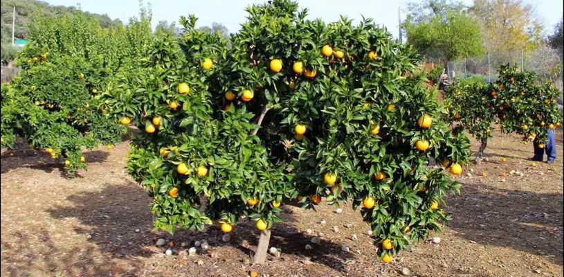 Montes frutales - vivero Kirken
